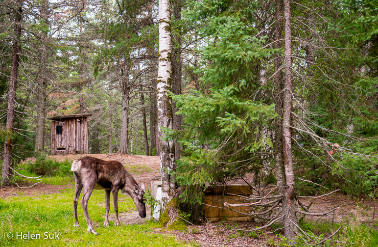 grazing baby caribou in camp