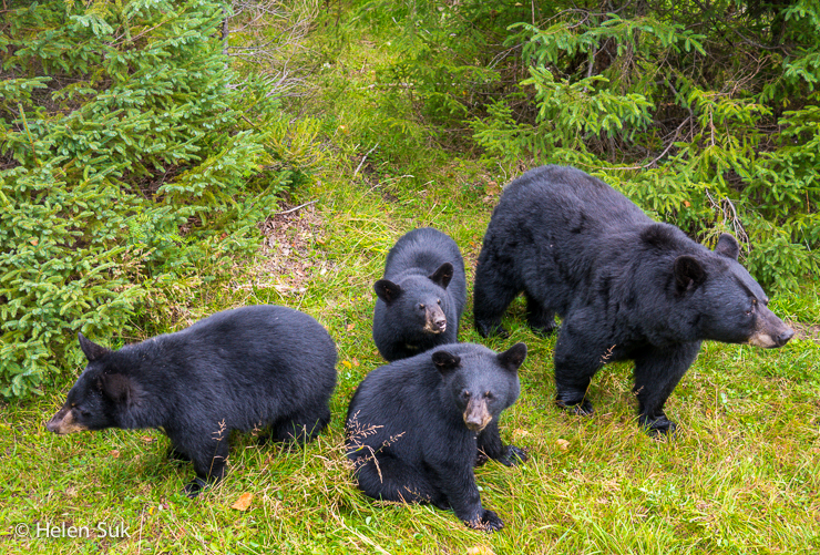 family of black bears in the nature trail park at zoo sauvage st felicien