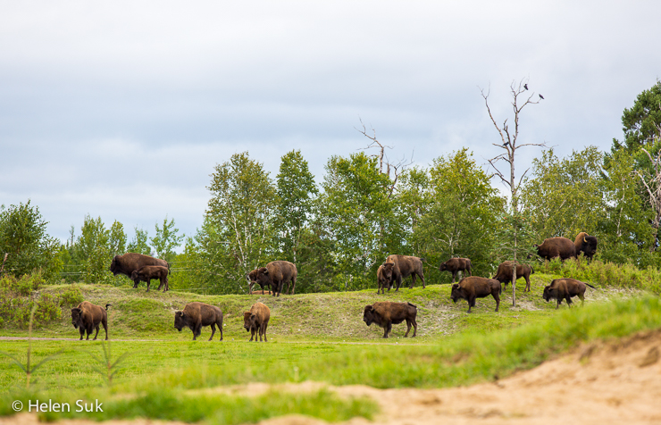herd of american bison during a canadian safari in quebec