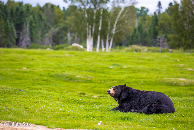 black bear on a canadian safari at zoo sauvage de st felicien in quebec