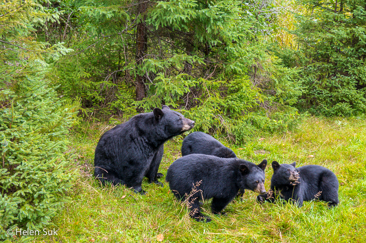 family of black bears at zoo sauvage st felicien in quebec