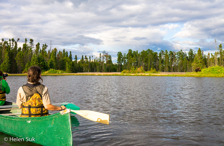 observing a musk ox from the lake while on a canoe