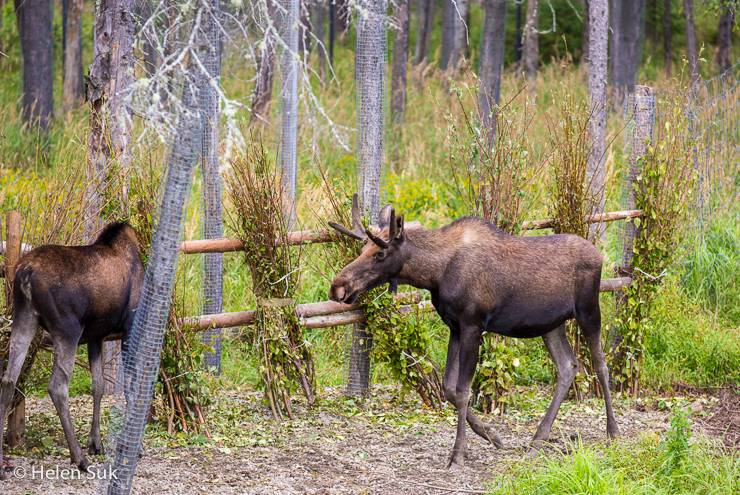 moose in the nature trail park at zoo de st felicien quebec