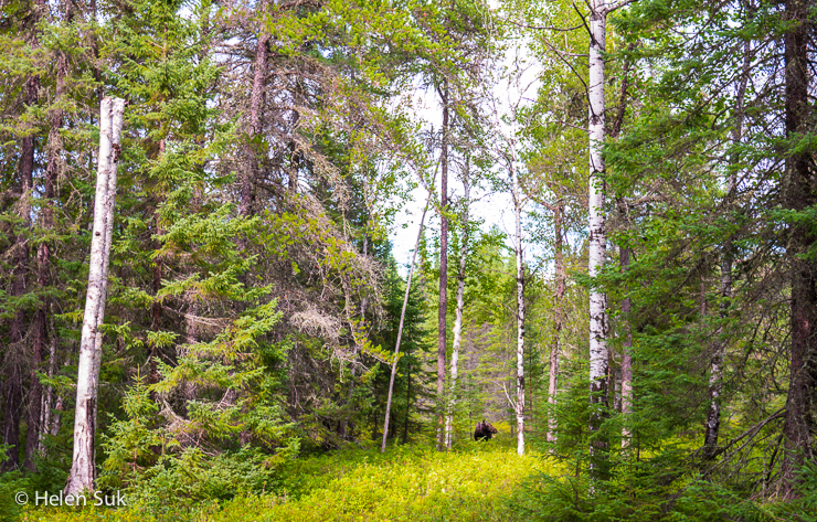 moose in the distance in the nature trail park
