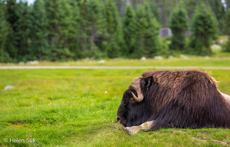 musk ox during a canadian safari at st felicien zoo in quebec