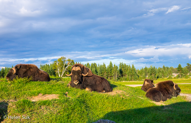 musk oxen resting in the nature trail park at zoo st felicien