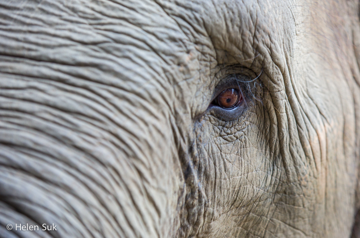 a close-up of an asian elephant's eye