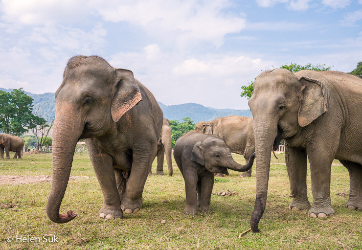 endangered asian elephants at elephant nature park in chiang mai thailand