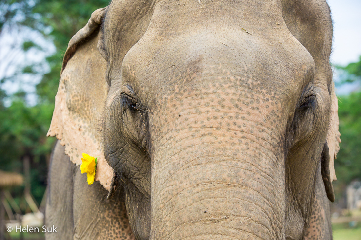 asian elephant with a yellow flower earring at elephant nature park