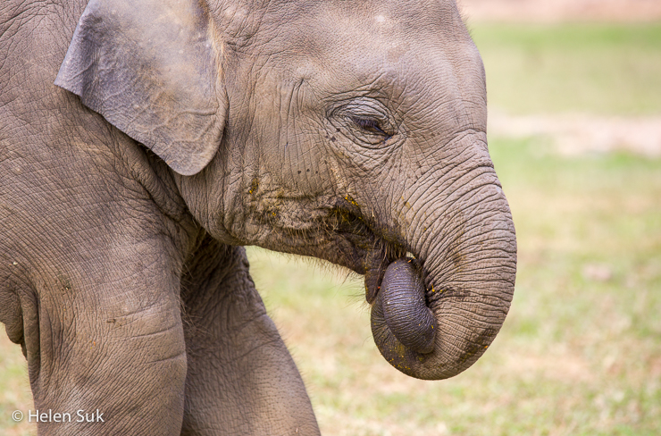 baby elephant in chiang mai thailand