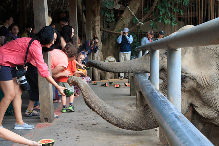 tourists feed elephants at elephant nature park