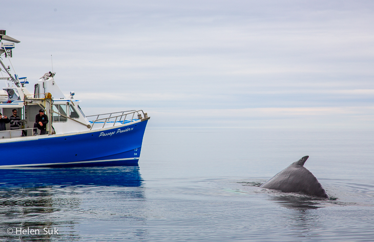 passengers on a boat watch a humpback whale in the bay of fundy nova scotia