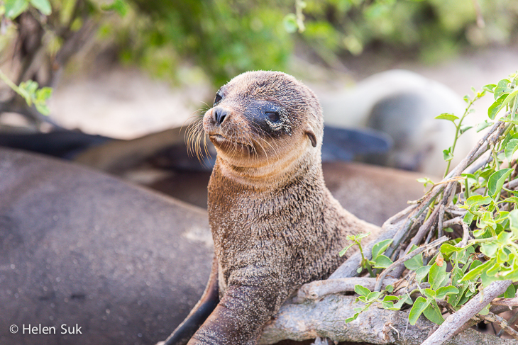 Galapagos Sea Lions: Wildlife Photography