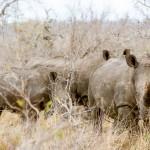 A South African Safari Through Timbavati Game Reserve