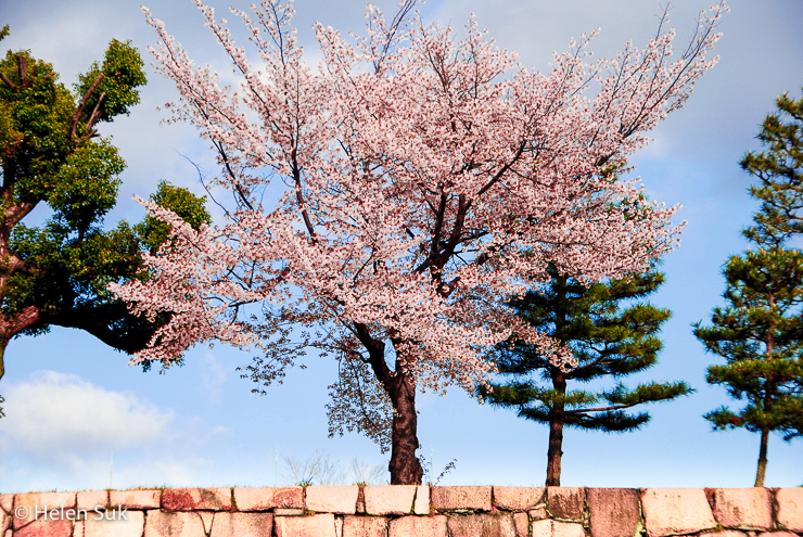 japanese cherry blossom tree - Not Without My Passport